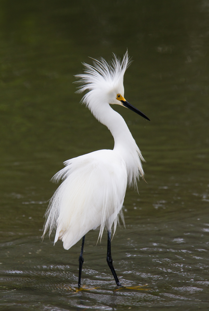 Snowy Egret with feathers flared 1