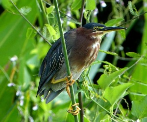 A Green Heron rests on a branch
