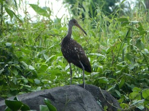 A limpkin perched on a rock