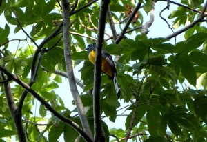 A small Trogon hidden in the canopy