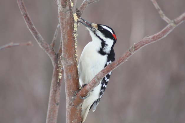 hairy-woodpecker-williamghartford