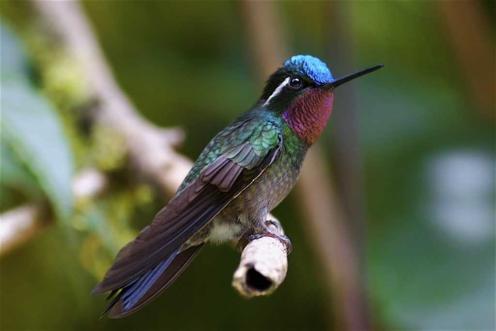 purple-throated-mountain-gem